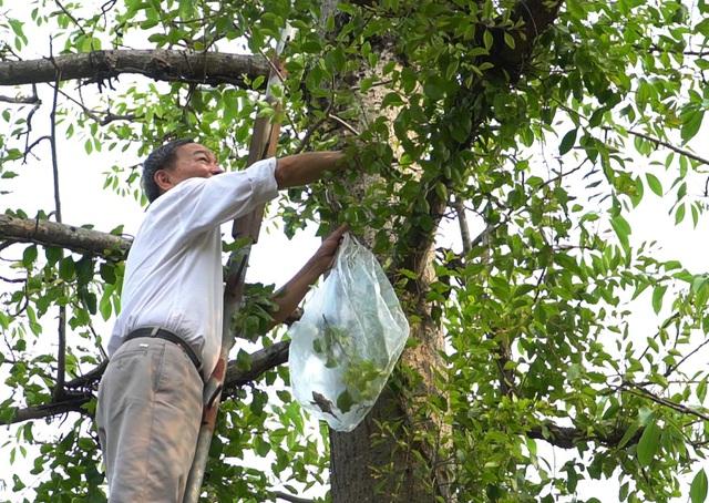 Choáng với loại tầm gửi quấn quanh thân cây được hét giá 1 triệu đồng/kg-2