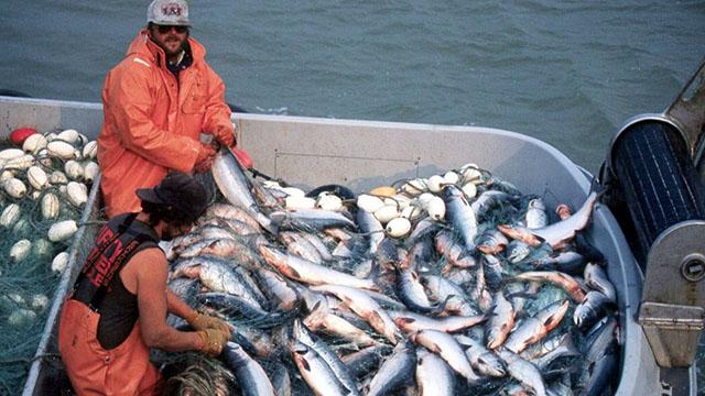 Cá hồi được nuôi và thu hoạch thế nào ở Canada?