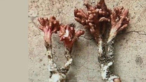 Từ vụ nhập viện do ăn ve sầu có sừng giống đông trùng hạ thảo, chuyên gia cảnh báo nấm mọc trên thân ve sầu vô cùng độc, có thể gây tử vong