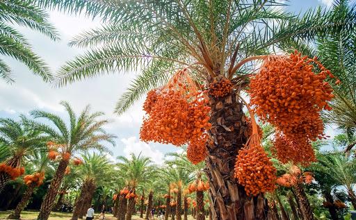 Loại quả quý tộc ở Dubai, nơi khác chỉ trồng để phủ xanh đất trống-10