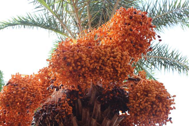 Loại quả quý tộc ở Dubai, nơi khác chỉ trồng để phủ xanh đất trống-11