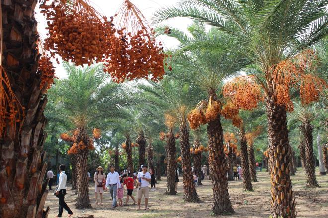 Loại quả quý tộc ở Dubai, nơi khác chỉ trồng để phủ xanh đất trống-13