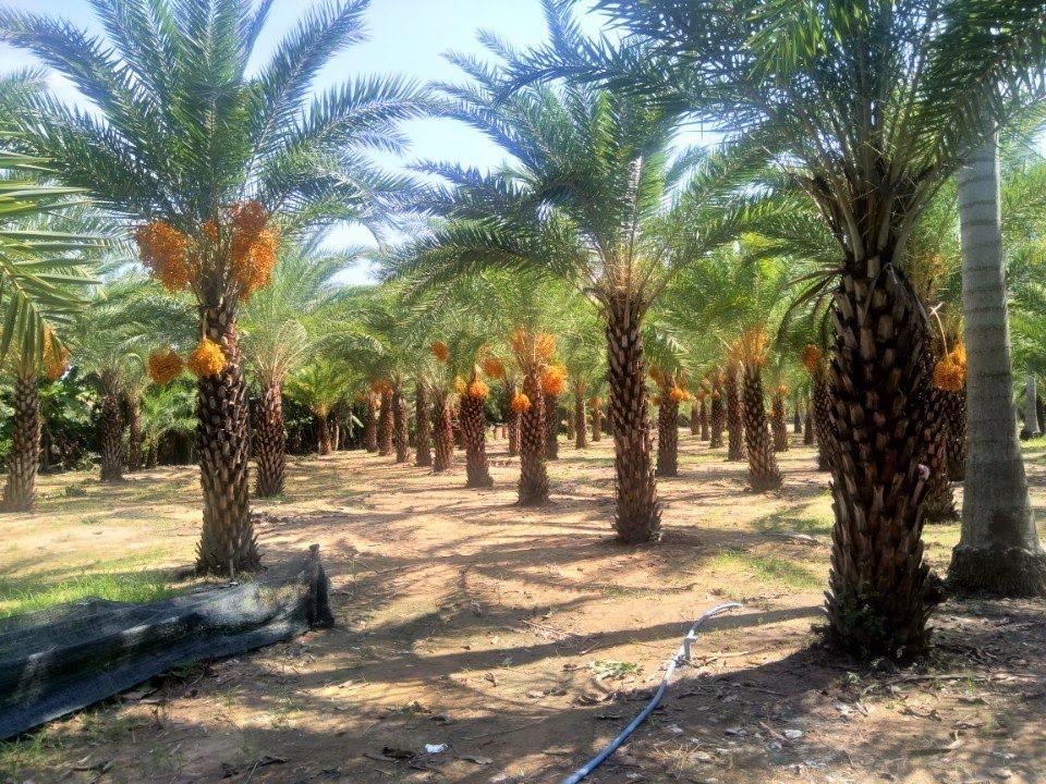 Loại quả quý tộc ở Dubai, nơi khác chỉ trồng để phủ xanh đất trống-5