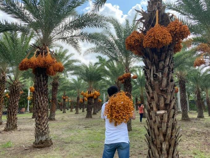 Loại quả quý tộc ở Dubai, nơi khác chỉ trồng để phủ xanh đất trống-8