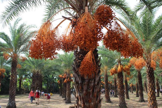 Loại quả quý tộc ở Dubai, nơi khác chỉ trồng để phủ xanh đất trống-9