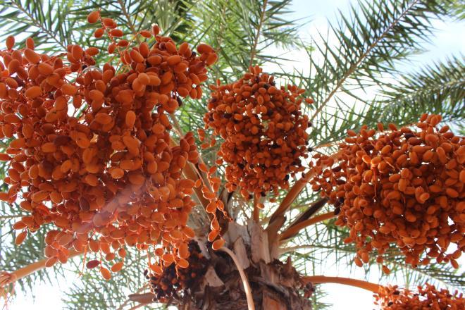 Loại quả quý tộc ở Dubai, nơi khác chỉ trồng để phủ xanh đất trống-1