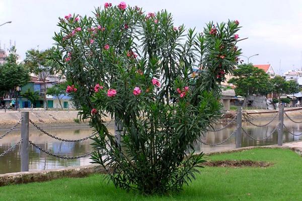 Điểm mặt những cây cảnh dù đẹp cũng không nên trồng trong nhà-3