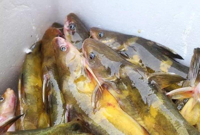 Của hiếm sông Đà: Loài cá vàng óng, muốn ăn phải đặt trước nửa năm-1