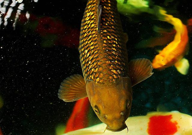 Cá chép thân dài 1m, vảy ánh kim giá 200 triệu đồng-2