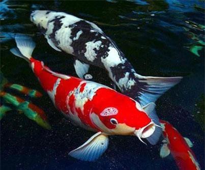 Cá chép thân dài 1m, vảy ánh kim giá 200 triệu đồng-4