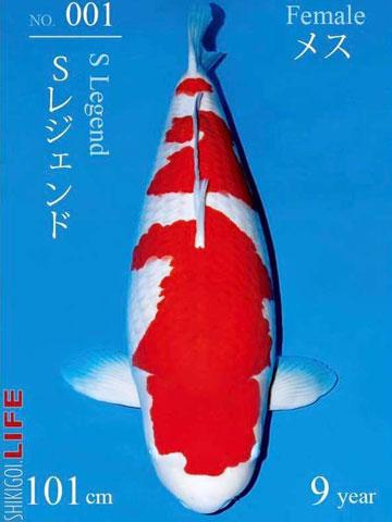 Cá chép thân dài 1m, vảy ánh kim giá 200 triệu đồng-5