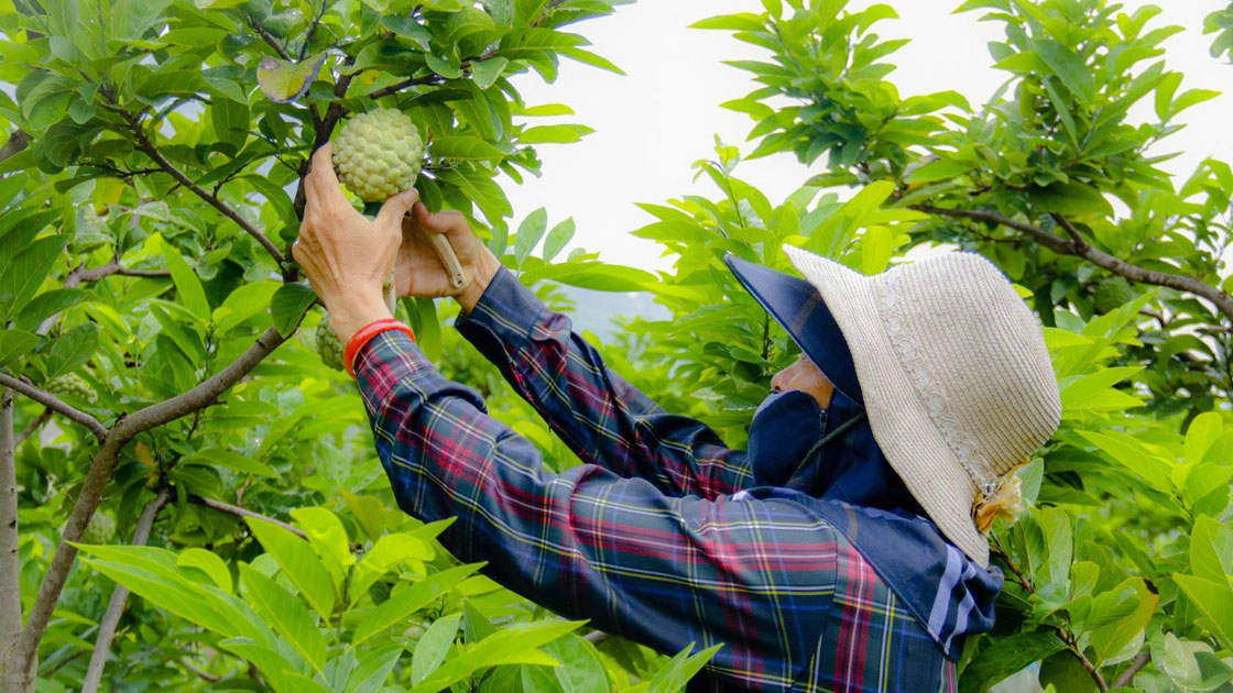 Thu hàng trăm tỷ đồng mỗi năm nhờ trồng loại quả vừa ngọt vừa dai