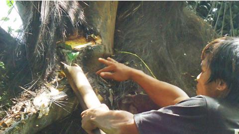 Kỳ lạ loại cây cho ra rượu thơm ngọt mát độc nhất Việt Nam