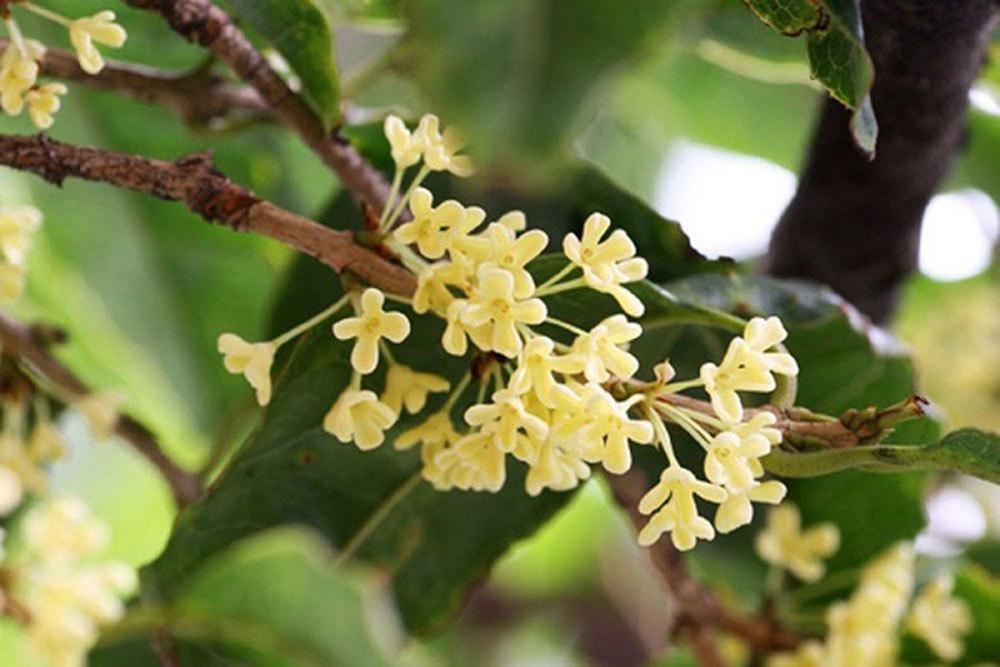 Kỳ lạ loại cây cho ra rượu thơm ngọt mát độc nhất Việt Nam-2