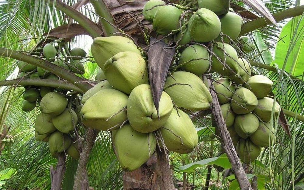 Loại dừa giá lên tới 300.000 đồng/quả có gì đặc biệt?-2