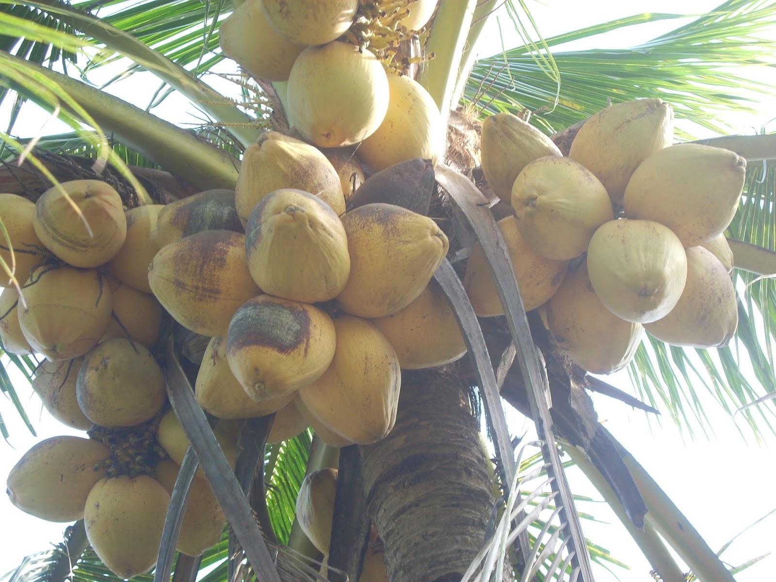 Loại dừa giá lên tới 300.000 đồng/quả có gì đặc biệt?-9