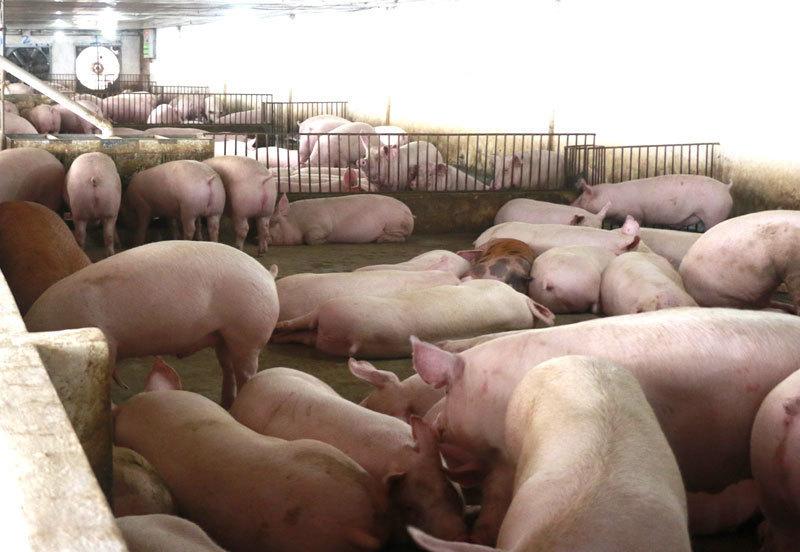 Giá lợn hơi giảm xuống đáy, thấp nhất 2 năm qua-1