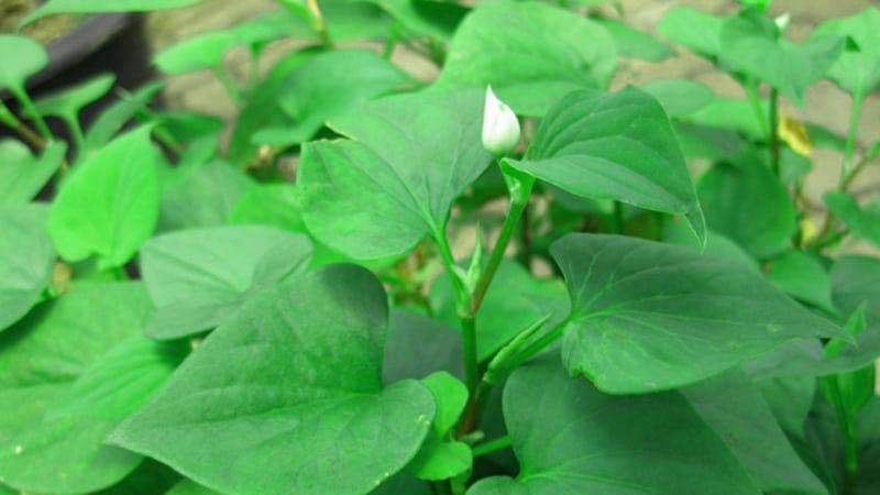 Loại rau tanh ngòm, mọc khắp vườn, trước dùng cho lợn ăn, mang sang Trung Quốc quý như vàng