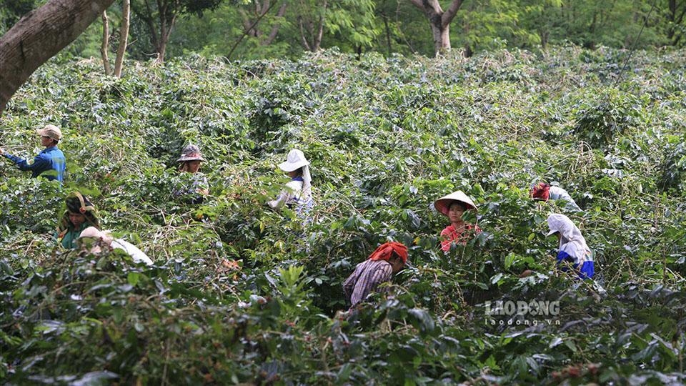 Nông dân 'khóc ròng' vì cà phê… được mùa, được giá